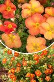 Pięciornik krzewiasty 'Red Ace' (łac. Potentilla fruticosa 'Red Ace')