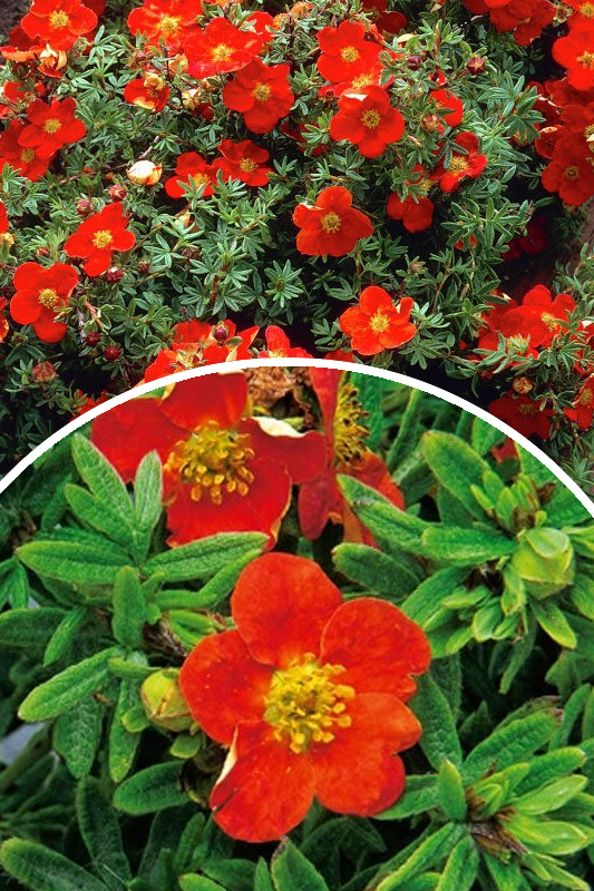 Pięciornik krzewiasty 'Marian Red Robin' (łac. Potentilla fruticosa 'Marian Red Robin')
