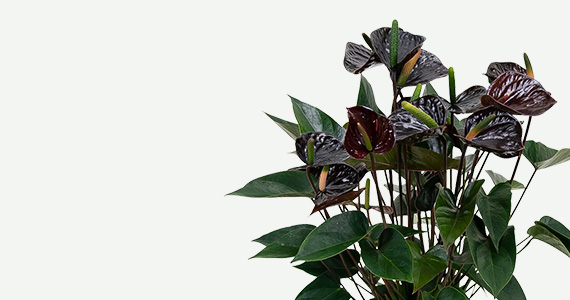 czarne anturium anthurium black love