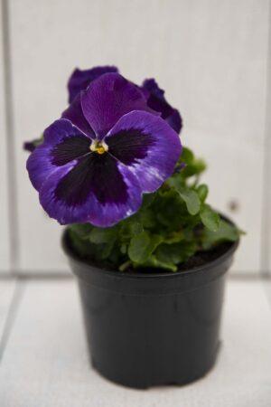 Bratek - Fiołek ogrodowy (łac. Viola tricolor var. hortensis)