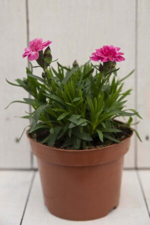 Goździk ogrodowy (Dianthus caryophyllus)