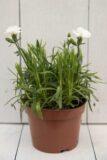 Goździk ogrodowy (Dianthus caryophyllus