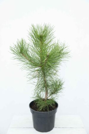Pinus nigra - Sosna-czarna