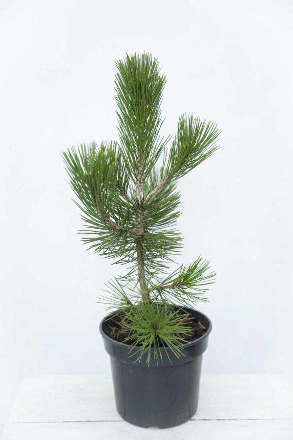 Pinus Heldreichii Sosna bośniacka