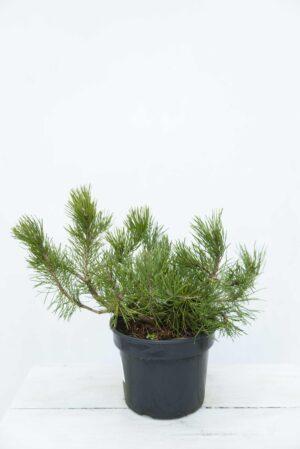 Pinus-mugo-var.-pumilio-Sosna górska-Sosna kosodrzewina