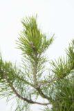 Pinus mugo var. pumilio Sosna kosodrzewina Sosna górska