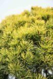 710-04603 Pinus mugo 'Carsten's Winter Gold' Sosna kosodrzewina 'Carsten Winter Gold' (2)