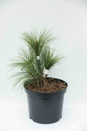 710-04604 Pinus schwerinii 'Wiethorst' Sosna Schwerina 'Wiethorst' (1)