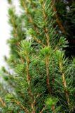 710-04606 Picea gl. 'Conica' Swierk biały 'Conica' 3