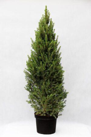 710-04606 Picea gl. 'Conica' Swierk biały 'Conica'