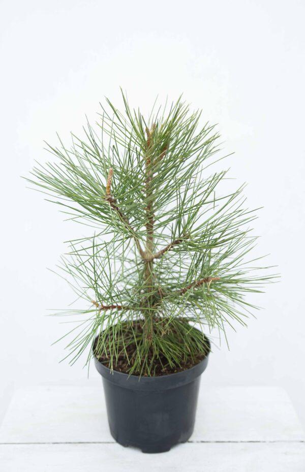 Pinus Ponderosa Sosna żółta