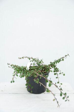 710-04610 Cotoneaster procumbens 'Queen of Carpets'- Irga- płożąca- Irga- rozesłana
