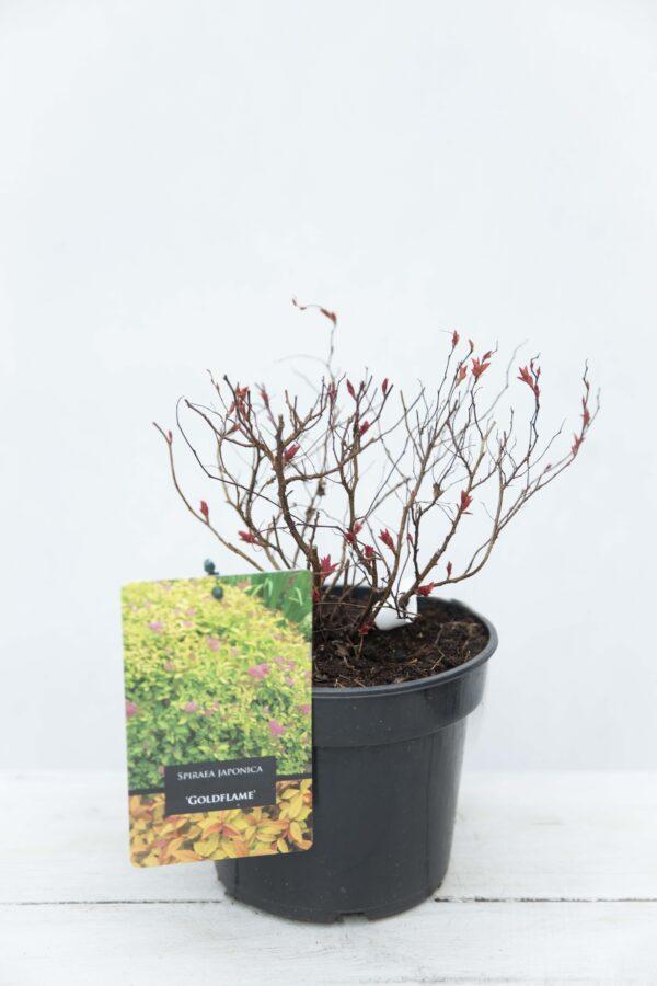Spiraea-japonica-Goldflame -Tawuła japońska
