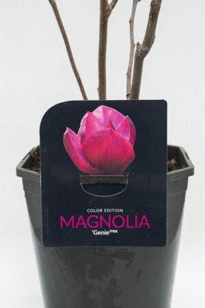 710-04626 Magnolia 'Genie' Magnolia
