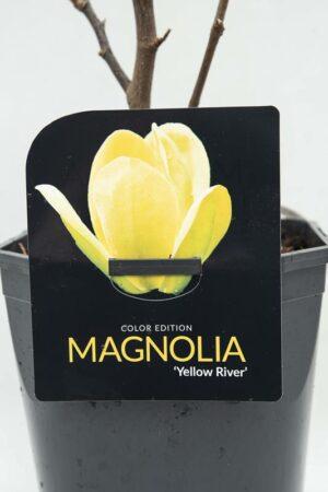 710-04628 Magnolia 'Yellow River'