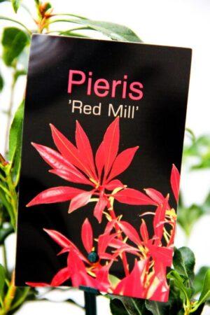 710-04629 Pieris 'Red Mill' 20-25CM C2
