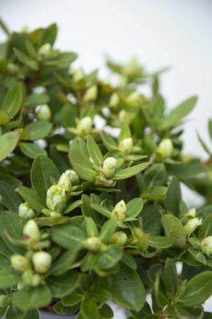 710-04647 Rhododendron 'Shamrock' Różanecznik 'Shamrock' (2)