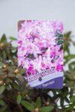 710-04648 Rhododendron 'Ramapo' Różanecznik 'Ramapo' (2)