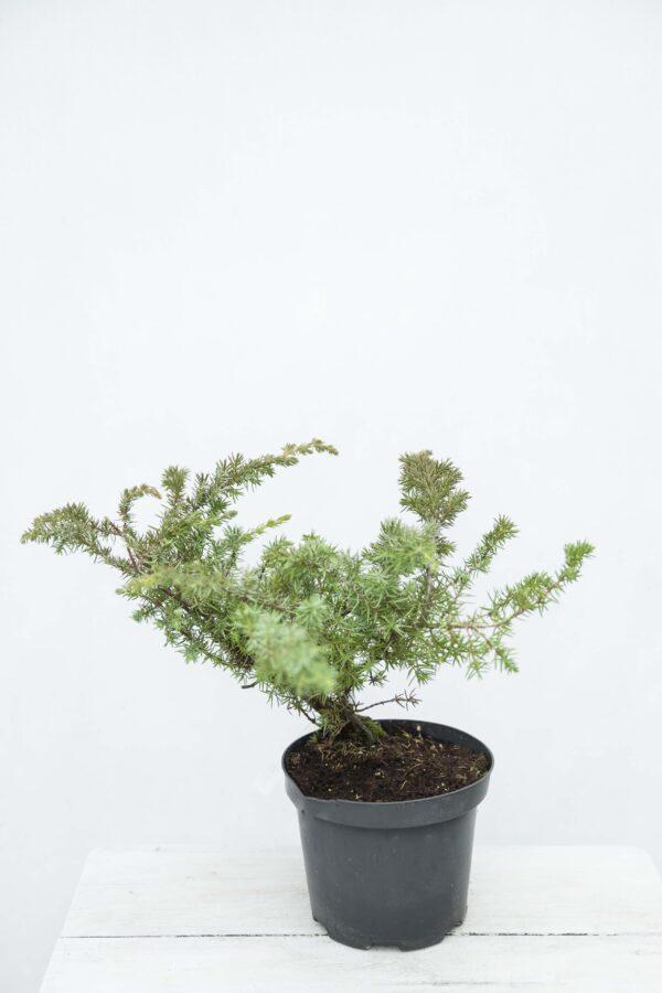 Juniperus conferta'Schlager' Jałowiec
