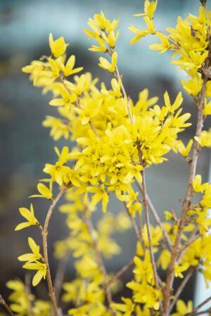Forsycja-japońska-Kanarek-łac.-Forsythia-japonica-Kanarek