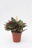 040-00969 PEPEROMIA ROSSO H10 P505