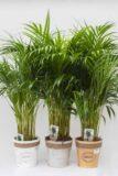 Palma Areka (łac. Dypsis Lutescens 'Areca') w ozdobnej donicy
