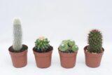 CACTUS MIXED kaktus