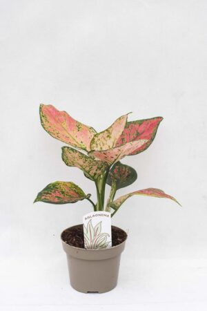 040-04915 AGLAONEMA SPOTTED STAR H35 P12 (1)(1)
