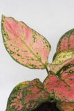 040-04915 AGLAONEMA SPOTTED STAR H35 P12 (2)(1)