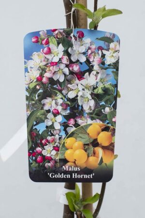 130-00614 Malus 'Golden Hornet' C7 szcz (3)