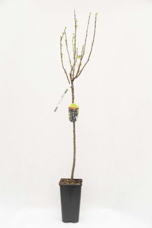 130-00861 Ribes 'Titania' PA Porzeczka czarna pienna (1)