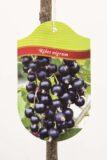 130-00861 Ribes 'Titania' PA Porzeczka czarna pienna (2)