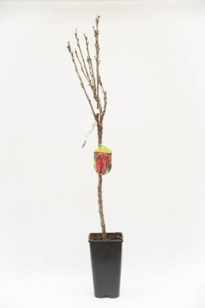 130-00863 Ribes 'Jonkheer van test' PA Porzeczka czerowna pienna (1)