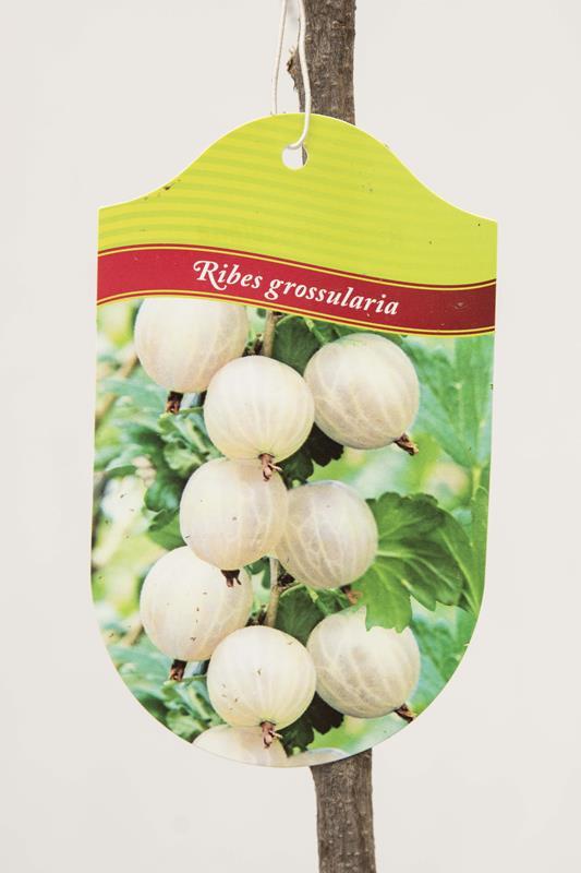 130-00870 Ribes 'Invicta' PA Agrest biały pienny (2)