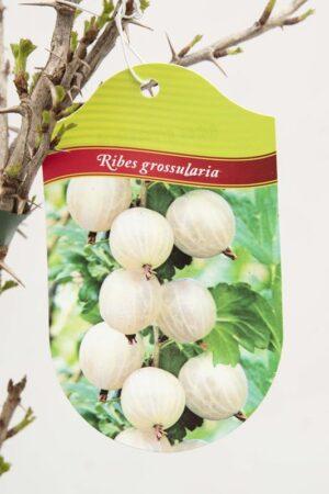 130-00880 Ribes 'Invicta' Agrest krz.