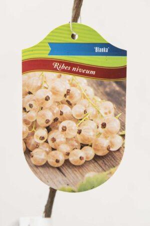 130-00963 Ribes 'Blanka' Porzeczka biała