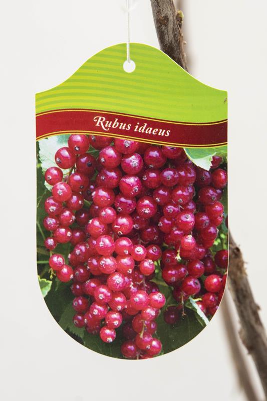130-00964 Ribes rubrum 'Jonkheer van Tets' Porzeczka czerwona