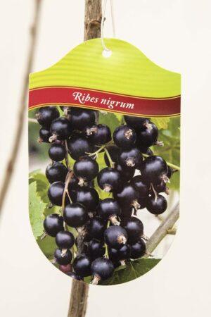 130-00965-Ribes-Tiben-Porzeczka-czarna