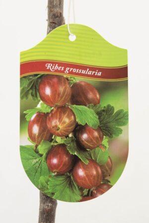 130-00967 Ribes 'Kamieniar' PA Agrest czerwony pienny (2)