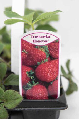 130-00969-TRUSKAWKA-HONEOYE