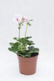 510-70897 PELARGONIA bluszczolistna blady róż