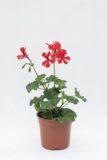 510-70897 PELARGONIA bluszczolistna czerwona
