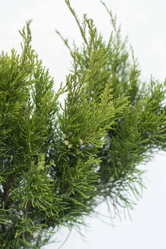 Juniperus x media'Mint Julep' 60-80 C3