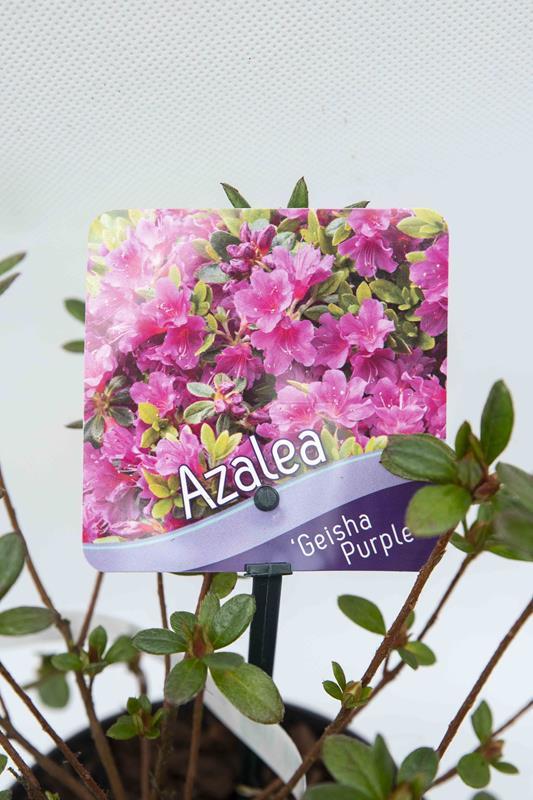 Rhododendron-Geisha-Purple-Azalia-japonska