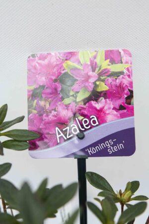 Rhododendron-Konigstein-Azalia-japonska
