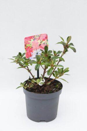 Azalia japońska 'Geisha Red' (łac. Rhododendron 'Geisha Red')