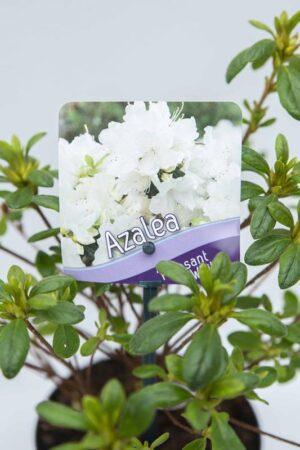 710-00461-Rhododendron-Pleasant-White-Azalia-japonska