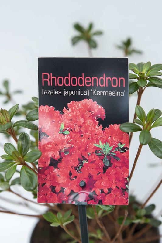 Rhododendron 'Kermesina' Azalia japońska