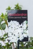 710-00465-Rhododendron-Hisako-Azalia-japonska
