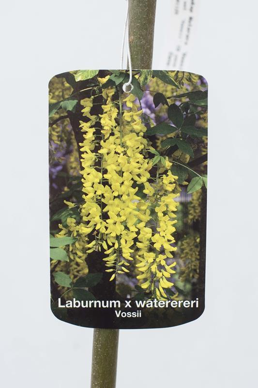 710-01125 Laburnum wat. 'Vossii' C6 szcz (2)